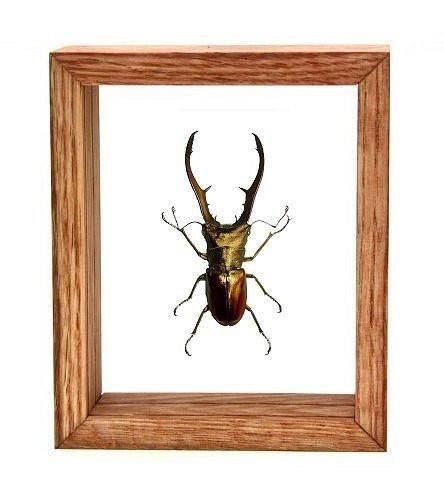 "Cyclommatus Metalifer - 6"" x 5""  : Specimen Framed - Photo Museum Store Company"