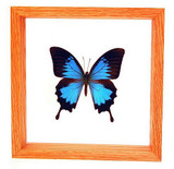 "Papilio Ulysses - 8"" x 8""  : Butterfly Specimen Framed - Photo Museum Store Company"