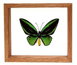 "Ornithoptera Priamus Poseidon - 7"" x 8""  : Butterfly Specimen Framed - Photo Museum Store Company"
