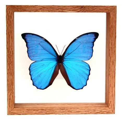 "Morpho Didius - 8"" x 8""  : Butterfly Specimen Framed - Photo Museum Store Company"