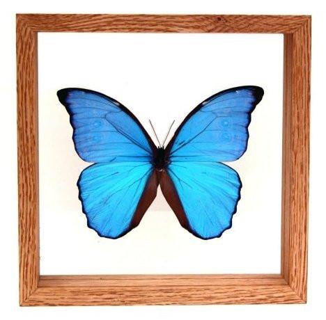 "Morpho Didius - 8"" x 8""  : Butterfly Specimen Framed - Photo Museum Store Company"