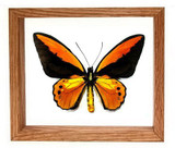 """Ornithoptera Croesis Lydius - 7"""" x 8""""  : Butterfly Specimen Framed - Photo Museum Store Company"""