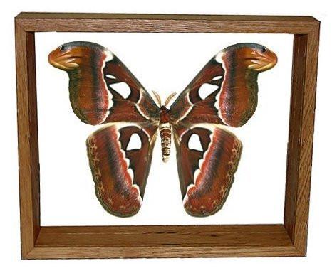 """Attacus Atlas Moth - 10"""" x 12""""  : Moth Specimen Framed - Photo Museum Store Company"""