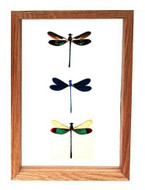 "Triple Dragonflies - 10"" x 7""  : Dragonfly Specimen Framed - Photo Museum Store Company"