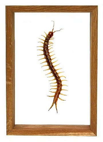 12 x 6 in. The Thai GIANT Centipede | Framed Arachnid Wall Decor Unique Taxidermy Collectables Scolopendra subspinipes