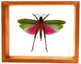 "Lophacris Cristata - 8"" x 10"" : Grasshopper Specimen Framed - Photo Museum Store Company"
