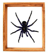 "Pamphobetus Antinous - 13"" x 11""  : Spider Specimen Framed - Photo Museum Store Company"