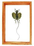 "Draco sp. (Flying Lizard) - 13"" x 9""  : Flying Lizard Specimen Framed - Photo Museum Store Company"