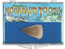 Mosasaur Tooth Fossil Box, Cretaceous Period - Actual Authentic  Fossil - Photo Museum Store Company