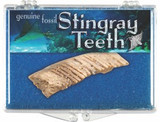 Stingray Teeth Box, 65 to 150 Million Years Old, Morocco - Actual Authentic  Fossil - Photo Museum Store Company