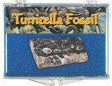 Turritella (Elimia Tenera) Fossil - 34 to 56 MYA - Actual Authentic Fossil - Photo Museum Store Company