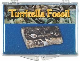 Turritella (Elimia Tenera) Fossil - 34 to 56 MYA - Actual Authentic Fossil - Photo Museum Store Company