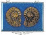 Ammonite Fossil Matched Halves Box - Jurassic - Cretaceous - Actual Authentic Fossil - Photo Museum Store Company