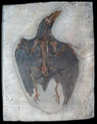 Confuciusornis Sanctus Bird Fossil (Bird Fossil Reproduction) - Late Jurassic Period - Photo Museum Store Company