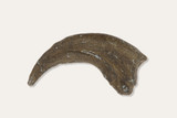 Dryptosaurus Claw - Dinosaur Fossil Replica - Academy of Natural Sciences - Museum Store Company Photo
