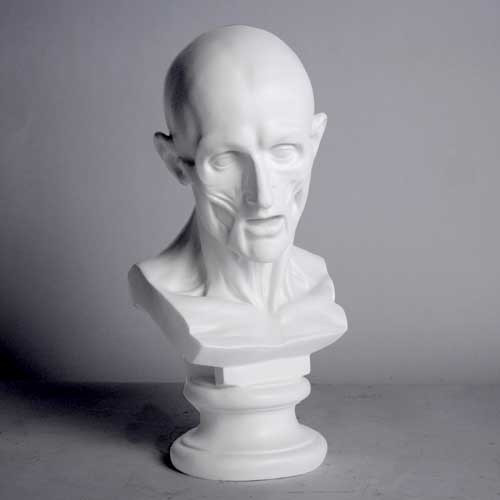 Anatomy Bust - Museum Replicas Collection Photo
