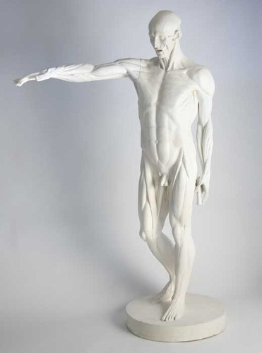 Anatomy Of Man - Male Sculpture - Museum Replicas Collection Photo