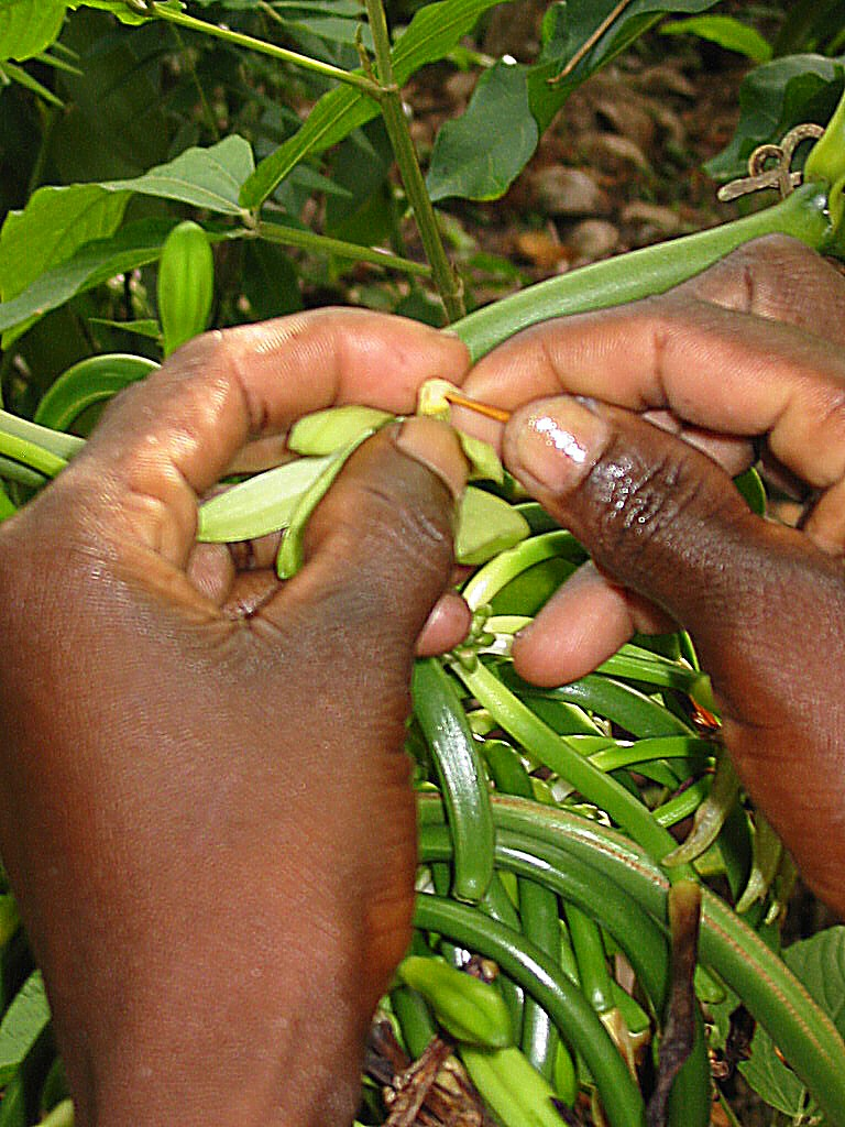 Hand pollinating vanilla beans