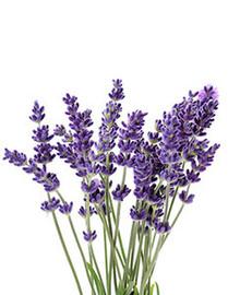 Lavender EO001