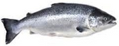 Atlantic Salmon -6oz