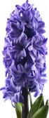 Hyacinth -each