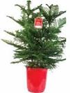 """10"""" Norfolk Island Pine"""