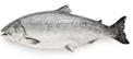 FreshWhole Coho Salmon -lb