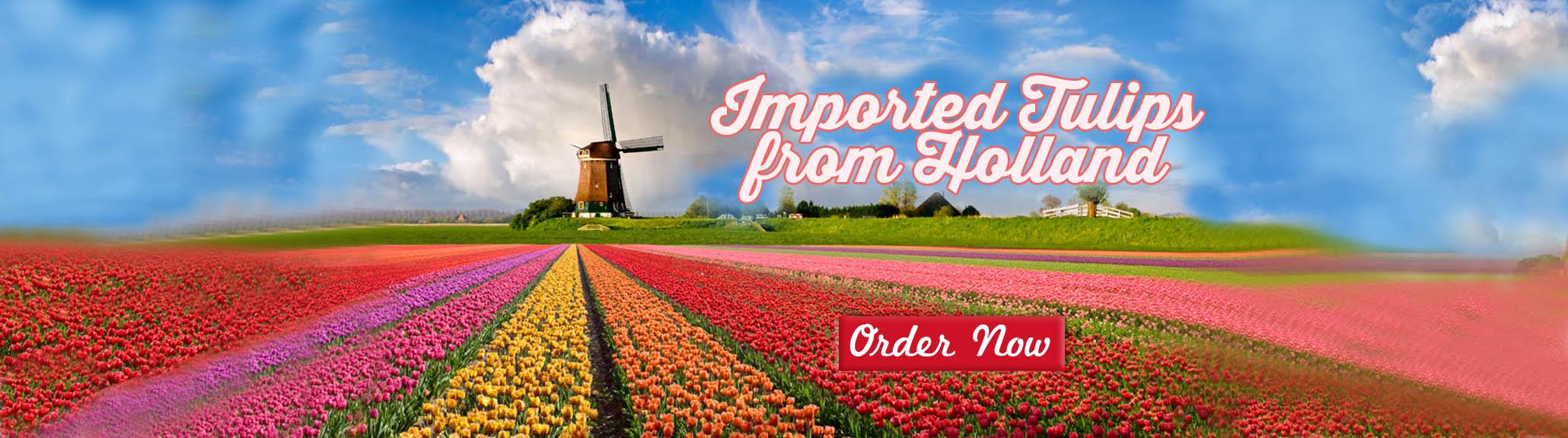 tulipsbanner-46162.jpg