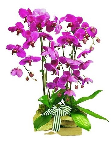 Triple Phalaenopsis Potted Violet Orchid