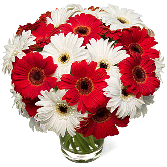 20 White & Red Gerbera Daisies