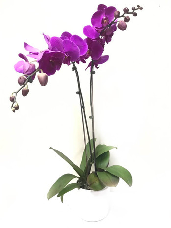 Double Phalaenopsis Potted Violet Orchid