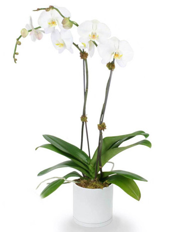 Double Phalaenopsis Potted White Orchid