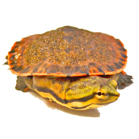 baby geoffrey's turtle for sale