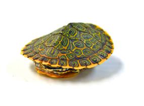 B Grade Juvenile Gorzugi Turtles for sale.