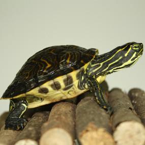 Juvenile Peninsula Cooter Turtle