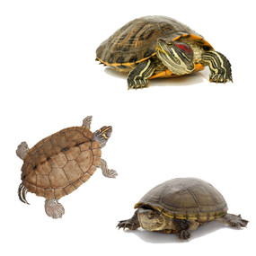 Order Pond Turtles Here.