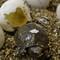 Hatchling Ornate Wood Turtle