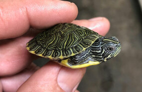 Baby River Cooter Turtle for sale