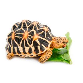 Star Tortoises ready to ship!
