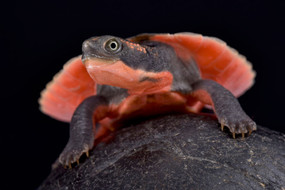 Baby Pink Belly Snapping Turtle