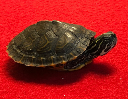 Juvenile River Cooter Turtle for sale