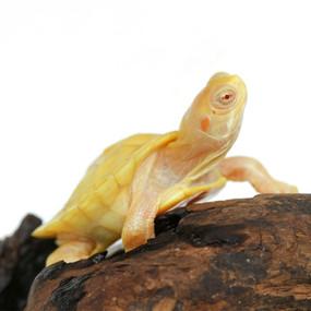 Baby Albino Red Ear Slider Turtle