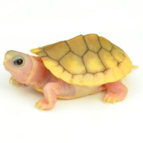Baby Caramel Pink Albino Red Ear Slider Turtle