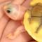 caramel albino slider turtle close up