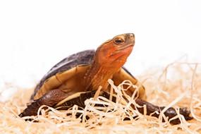 Baby Chinese Box Turtles