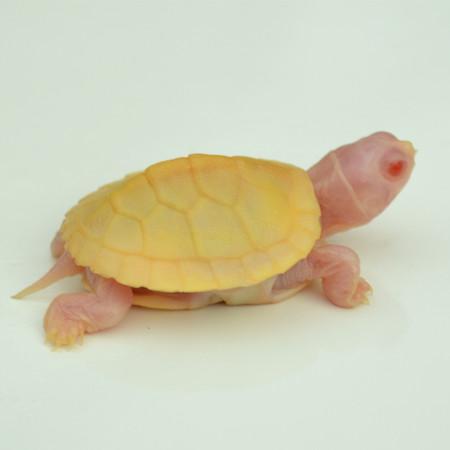 Baby Snow Albino Red Ear Slider Turtle