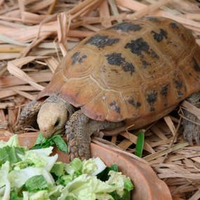 Adult Female Breeder Elongated Tortoise