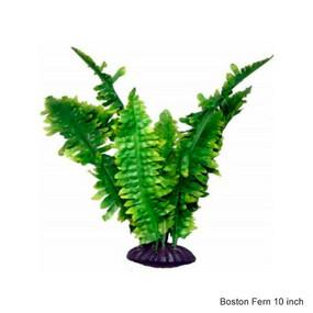 Boston fern 10 inch