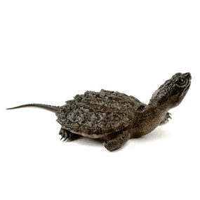 mini snapping turtle for sale