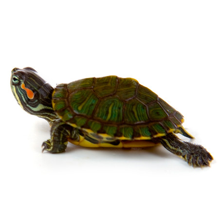 Shop with us to find a huge selection of baby red ear slider turtles for sale!